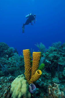 diver with yellow tube sponge