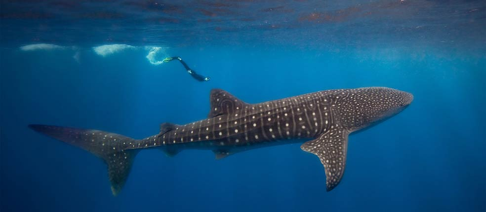 ' ' from the web at 'http://www.belizenet.com/images/stories/slideshow/whale_shark.jpg'